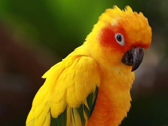 2016-04-20-1461183794-8642405-beautifulyellowparrotbirdSunConureparrotYasuniNPEcuadorSouthAmericaSourcewww.pinterest.comccr325.jpg